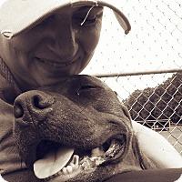 American Staffordshire Terrier Mix Dog for adoption in Unionville, Pennsylvania - Phoenix