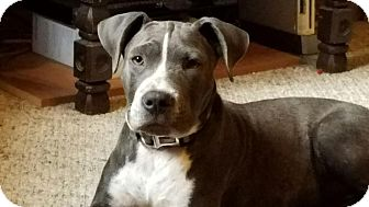 American Pit Bull Terrier Mix Puppy for adoption in Maylene, Alabama - Hendrix