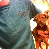 Australian Shepherd Dog for adoption in Conroe, Texas - STELLA
