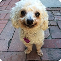 Adopt A Pet :: Dora - I do not shed! - Los Angeles, CA