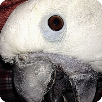 Cockatoo for adoption in Shawnee Mission, Kansas - Aspen