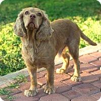 Cocker Spaniel Mix Dog for adoption in Tijeras, New Mexico - Cooper