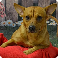 Adopt A Pet :: Chris - Lebanon, MO