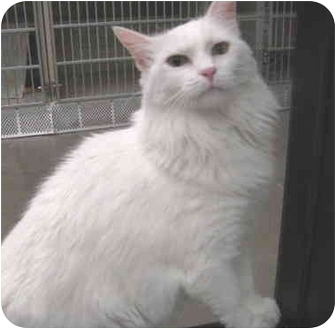 Domestic Longhair Cat for adoption in Mesa, Arizona - Sara