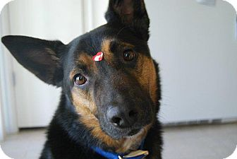 German Shepherd Dog/Australian Cattle Dog Mix Dog for adoption in Denver, Colorado - Spartacus