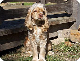 Cocker Spaniel Dog for adoption in Sugarland, Texas - Ranger