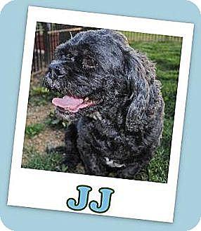 Cocker Spaniel/Shih Tzu Mix Dog for adoption in Pataskala, Ohio - J J