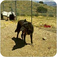 Shepherd (Unknown Type) Mix Dog for adoption in Acton, California - Ladybug