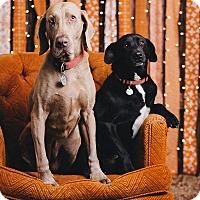 Adopt A Pet :: Greta - Portland, OR