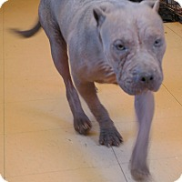 Adopt A Pet :: DUCE - San Pablo, CA