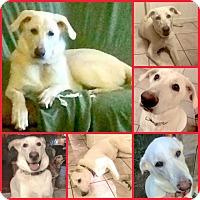Adopt A Pet :: MAYA - Davenport, FL