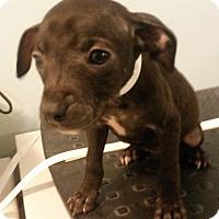 Adopt A Pet :: Candy - Muskegon, MI
