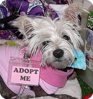 Chinese Crested Dog for adoption in Fort Lauderdale, Florida - MONA