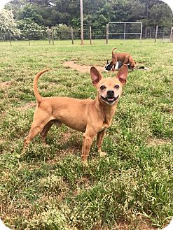 Chihuahua Dog for adoption in Fort Valley, Georgia - Chico