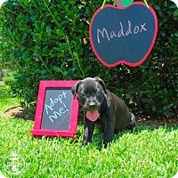 Adopt A Pet :: Maddox - Dallas, TX