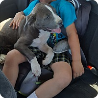 Pit Bull Terrier Puppy for adoption in HESPERIA, California - Anivia