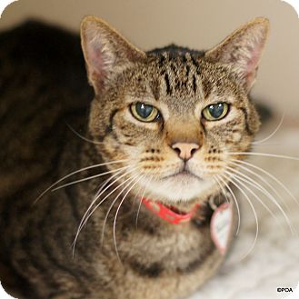 Domestic Shorthair Cat for adoption in East Hartford, Connecticut - Pacino