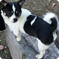 Adopt A Pet :: BLU - Norfolk, VA