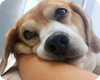 Beagle Dog for adoption in Fort Lauderdale, Florida - Sam the Beagle