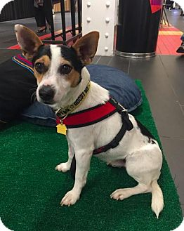 Jack Russell Terrier/Rat Terrier Mix Dog for adoption in New York, New York - Rascal