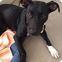 Labrador Retriever Mix Puppy for adoption in Southbury, Connecticut - Eleanor