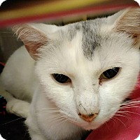 Domestic Shorthair Cat for adoption in Hinesville, Georgia - Leesha