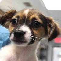 Adopt A Pet :: SABRINA - Wainscott, NY