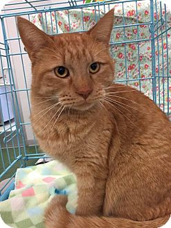 Domestic Mediumhair Cat for adoption in Mansfield, Texas - Wilbur