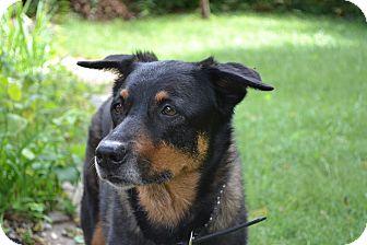 Cattle Dog/Rottweiler Mix Dog for adoption in Manhattan, Kansas - Dakota - pending