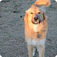 Great Pyrenees/Anatolian Shepherd Mix Dog for adoption in Kyle, Texas - Trixie
