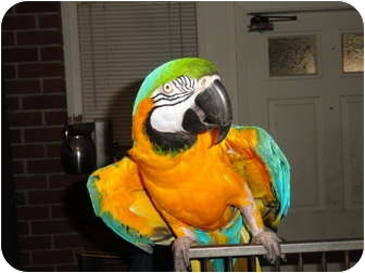 "Macaw for adoption in Vancouver, Washington - Ricky & ""JR"""
