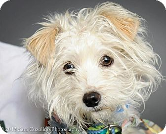 Maltese/Poodle (Miniature) Mix Dog for adption in Long Beach, California - Watson