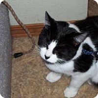 Domestic Shorthair Cat for adoption in Kelso/Longview, Washington - Leo