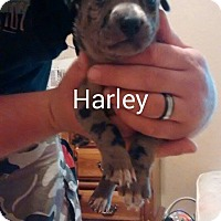Adopt A Pet :: Harley - Surprise, AZ
