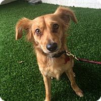 Adopt A Pet :: Tyler - Redondo Beach, CA