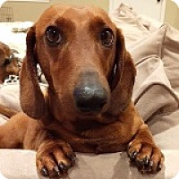 Adopt A Pet :: Charlie Chimney - Houston, TX