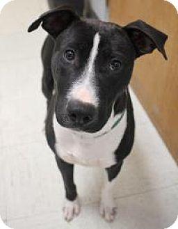 Bull Terrier/Border Collie Mix Dog for adoption in Yukon, Oklahoma - Cozi