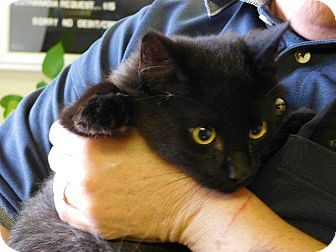 Domestic Shorthair Kitten for adoption in Houston, Texas - WILEY
