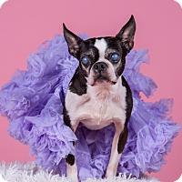 Adopt A Pet :: Boo Boo - Greensboro, NC