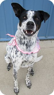 Pointer/Terrier (Unknown Type, Medium) Mix Dog for adoption in Holton, Kansas - Lexie