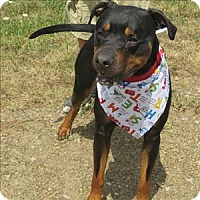 Doberman Pinscher/Pit Bull Terrier Mix Dog for adoption in Indiana, Pennsylvania - Hercules