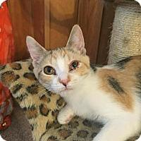 Calico Kitten for adoption in Davison, Michigan - Blanch