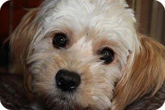 Lhasa Apso/Maltese Mix Dog for adoption in Corona, California - Esmeralda