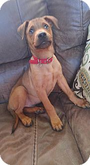 Shepherd (Unknown Type)/Rhodesian Ridgeback Mix Puppy for adoption in Fort Collins, Colorado - Hulk (FORT COLLINS)