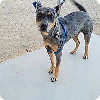 Australian Cattle Dog Mix Dog for adoption in California City, California - Fondo
