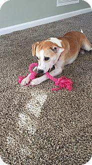 Corgi/Pit Bull Terrier Mix Dog for adoption in Elkton, Florida - Lucy