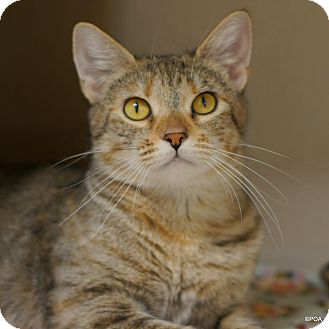 Domestic Shorthair Cat for adoption in East Hartford, Connecticut - Elsa