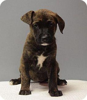 Terrier (Unknown Type, Medium) Mix Puppy for adoption in Valparaiso, Indiana - Mayflower