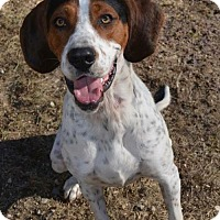 Treeing Walker Coonhound Mix Dog for adoption in wolfeboro, New Hampshire - BOOMER