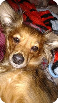 Papillon Mix Dog for adoption in Providence, Rhode Island - Bailey CJ in AR